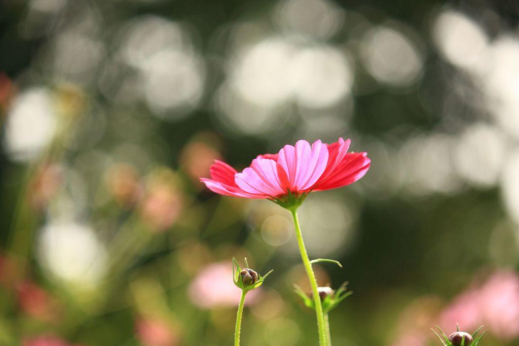 キラキラ秋桜