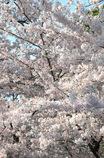 桜、桜、桜。