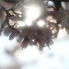 高遠の桜、朝日が射して