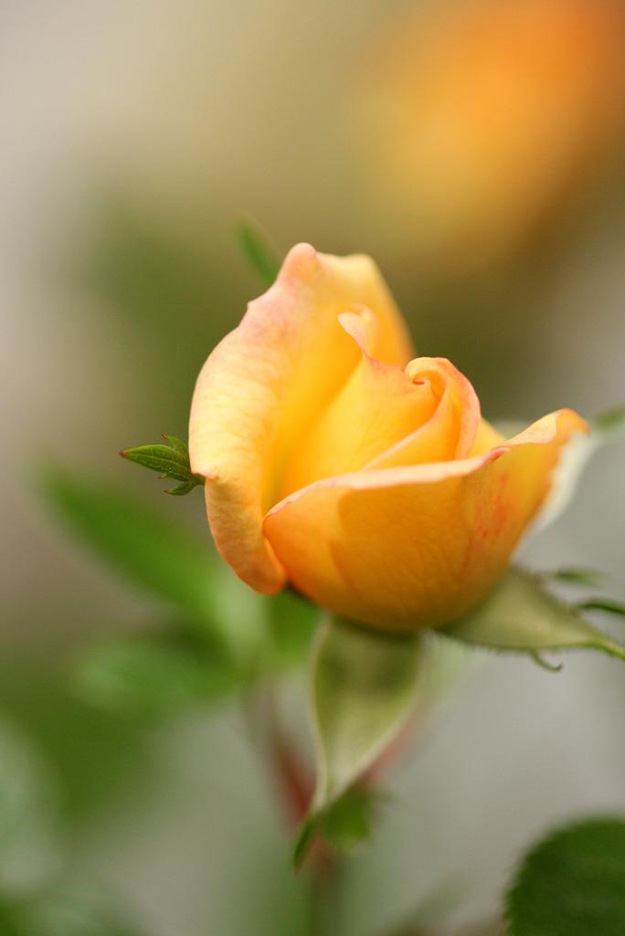 バラが咲いた♪♪