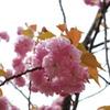 もう桜も終わりやね