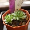 Sempervivum tectorum var. 紅薫花(コウクンカ)
