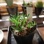 NIKON NIKON D60で撮影した植物(Euphorbia ユーフォルビア 蛾眉山)の写真(画像)