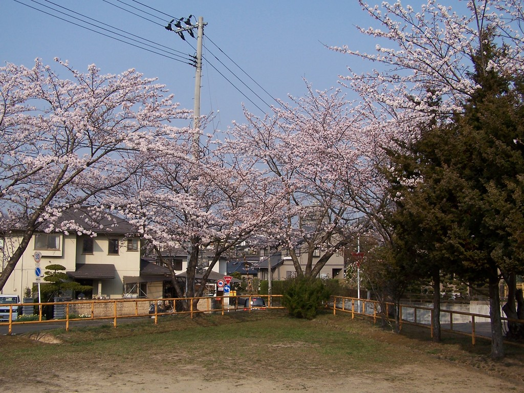 三角公園の桜