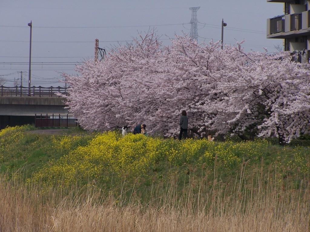 多賀城の桜