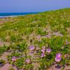 九十九里に咲く浜昼顔