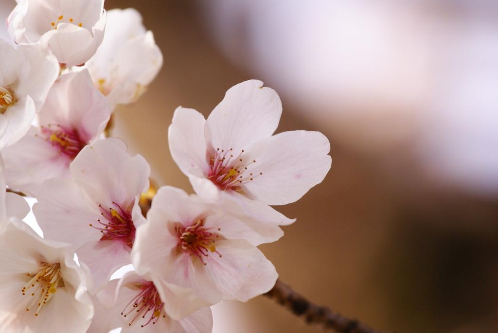 神社の桜1