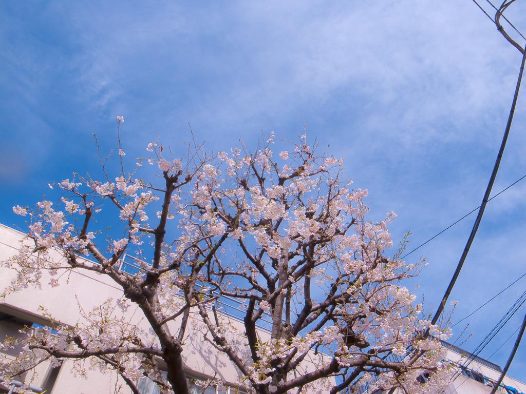 桜 表参道