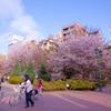 浜町公園 桜
