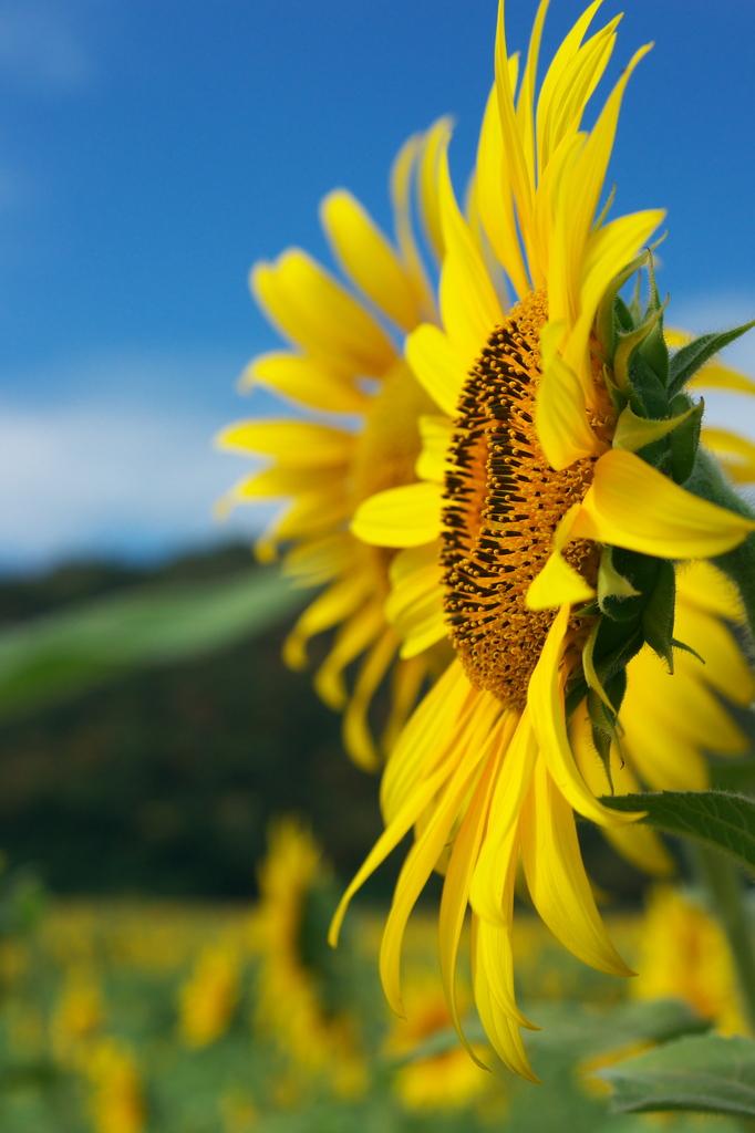 ロッブリー県の向日葵4