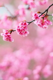 しっとり桜