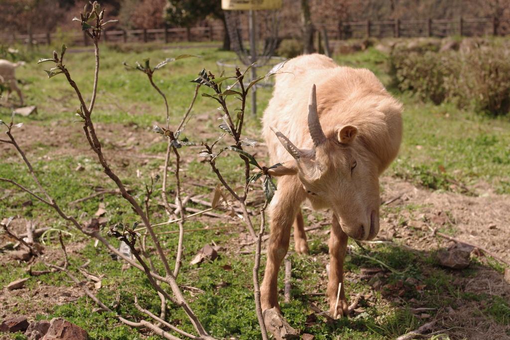 ホワイトファームヤギ