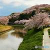 三室山の桜 3