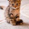 スコティッシュ子猫  /Cat tail Ikoma