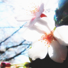 桜咲く 佐保川沿い 02