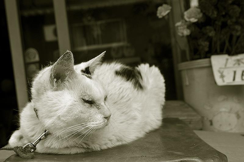 尾道 看板猫