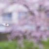 2015桜 飛翔