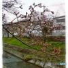 初桜@佐保川沿い