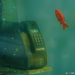 電話と金魚