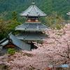 吉野山の桜 9