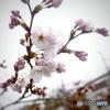 初桜2@佐保川沿い