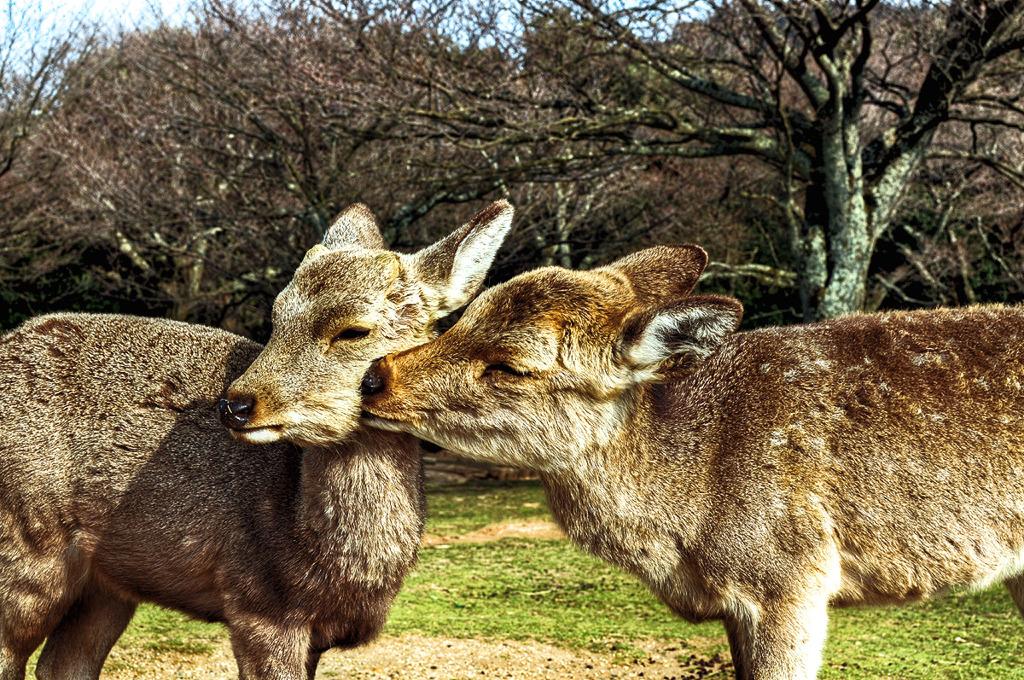鹿のグルーミング /HDR