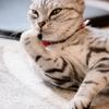 アメショー /Cat tail Ikoma