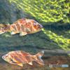 光を浴びる魚01@琵琶湖博物館