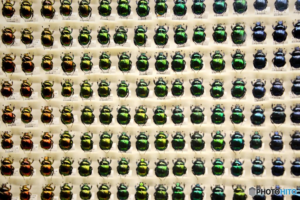 昆虫標本@琵琶湖博物館