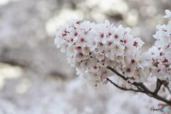 打出川治水緑地 桜の旅 2/5
