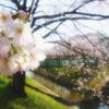 桜咲く 佐保川沿い 01