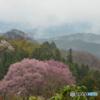 吉野山の桜 7
