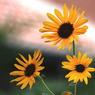 CANON Canon EOS Kiss Digital Xで撮影した植物(ひだまり)の写真(画像)