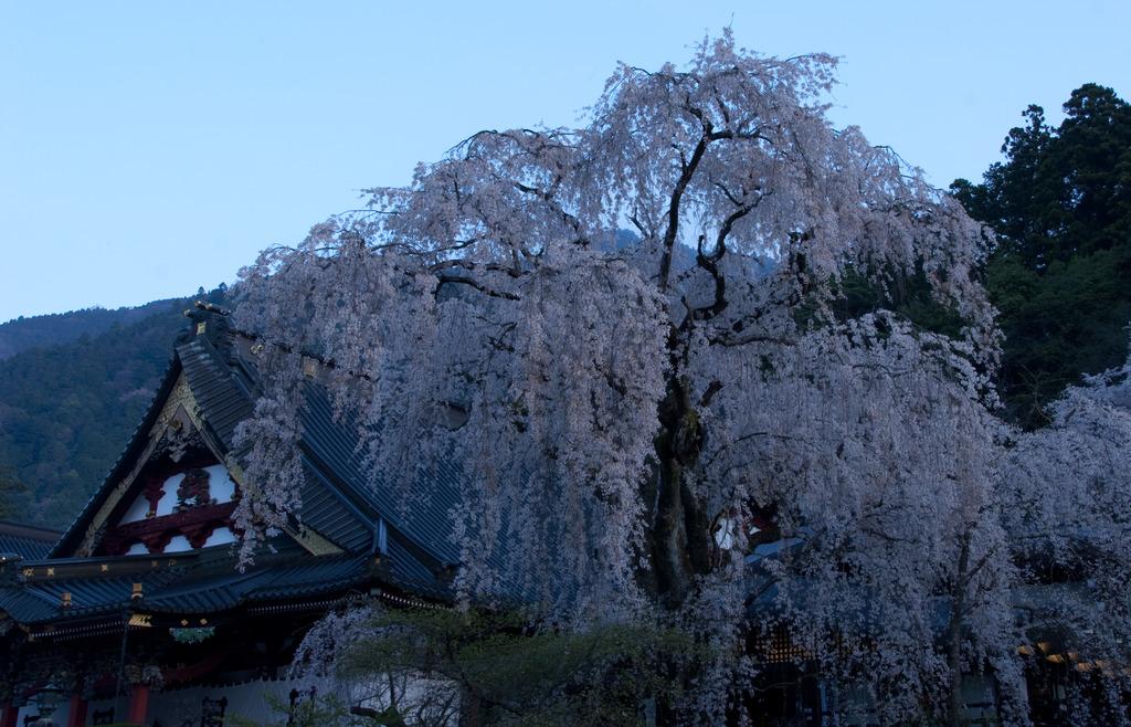 夜明け前の久遠寺桜