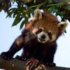 木登りレッサーパンダ1