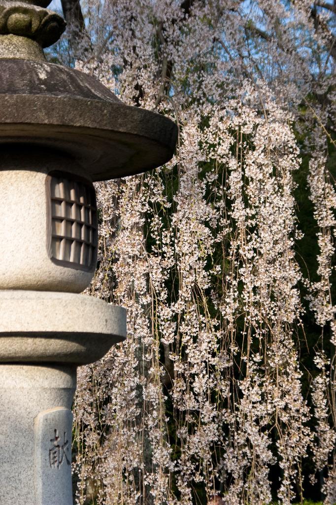 灯籠としだれ桜