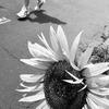 道ばたに咲く一輪の向日葵。