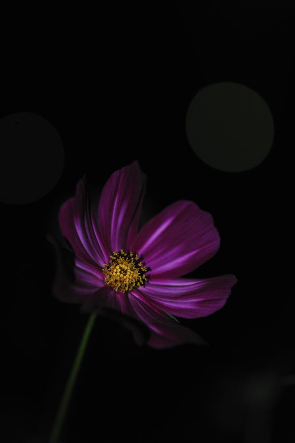 夜のコスモス1