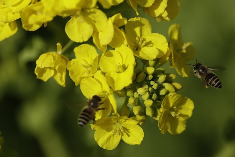 春一番ハチ