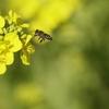 春一番ハチ1