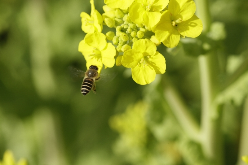 春一番ハチ3