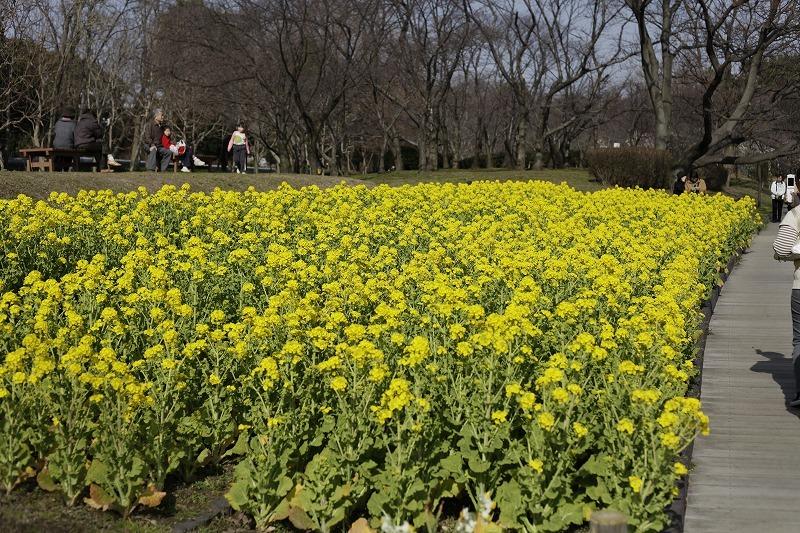 春一番ハチ 菜の花畑