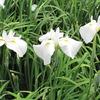 白い花菖蒲