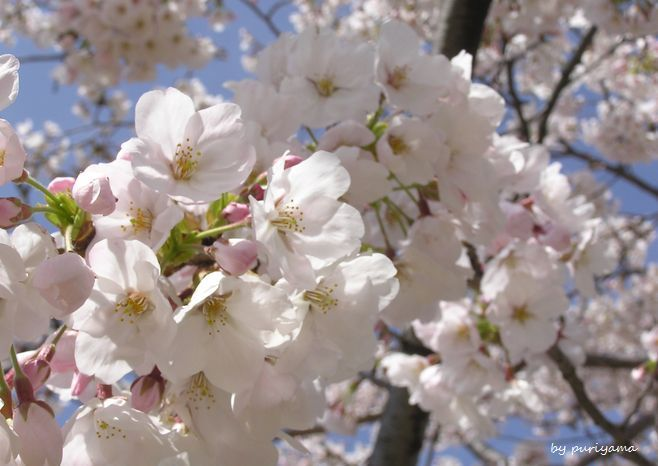 桜の花の満開の下