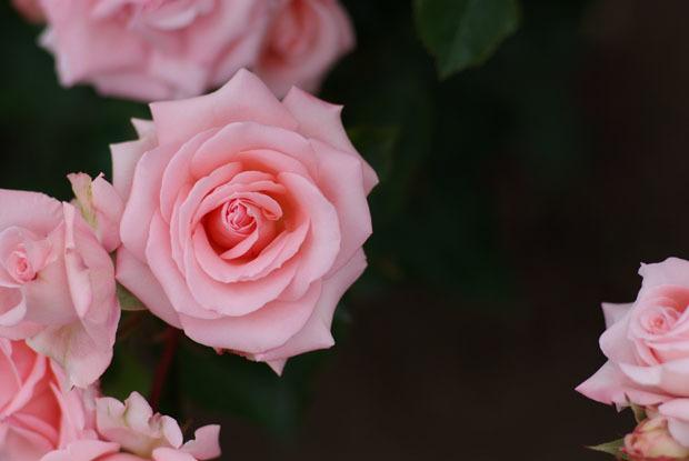 rose1-2