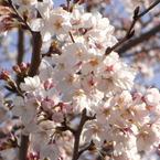 RICOH RICOH R10で撮影した植物(桜8)の写真(画像)