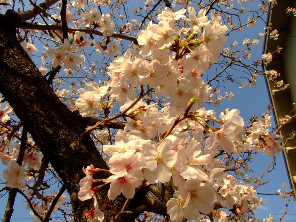 夕日に輝く桜