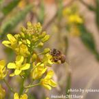 春めいて ミツバチ2