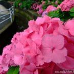 FUJIFILM FinePix S6000fdで撮影した植物(紫陽花9)の写真(画像)