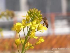 春めいて ミツバチ